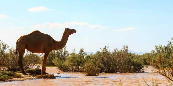 معرفی جازموریان شتر جازموریان بهترین شتر خاورمیانه