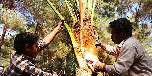 آموزش جدا کردن پا جوش درخت خرما