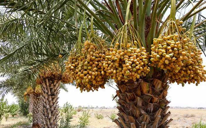 نخلستان مهندسی کاشت درخت خرما